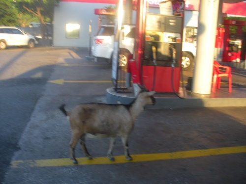 Jamaican Goat in line at the gas station